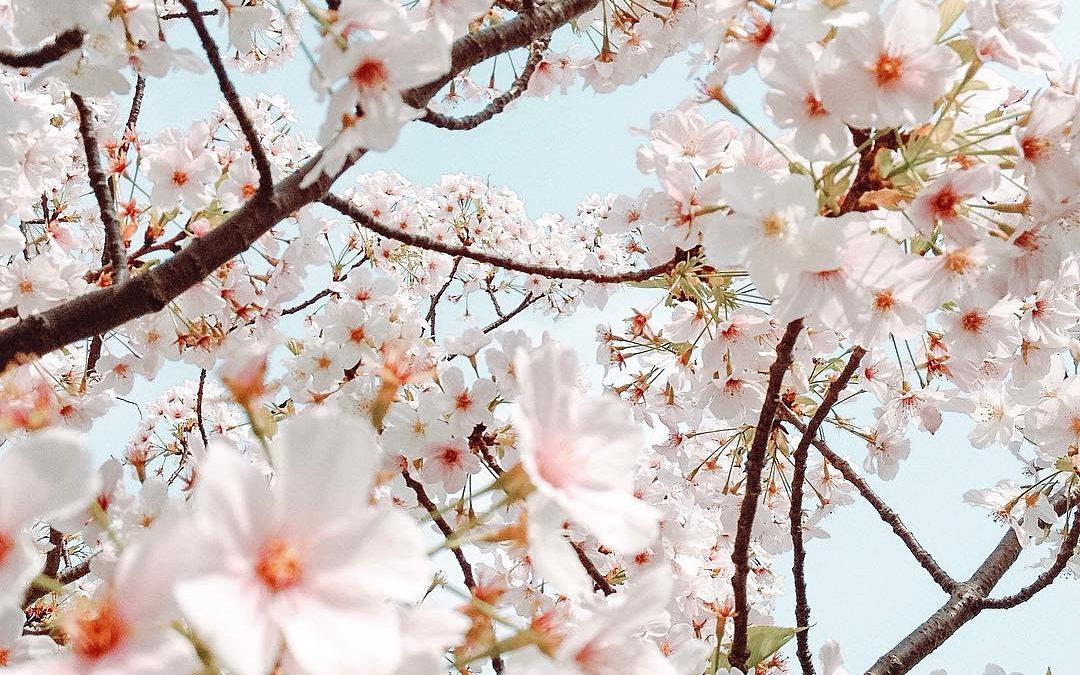Japanin kevät – kimonoita ja kirsikankukkia osa 1