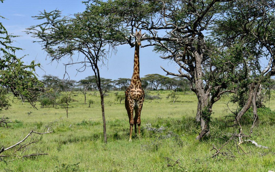 Safarilla Tansaniassa – Great Migration ja upea Mwiba River Lodge